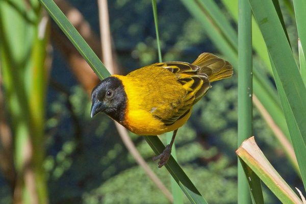 Birdwatching Algarve Black-headed Weaver