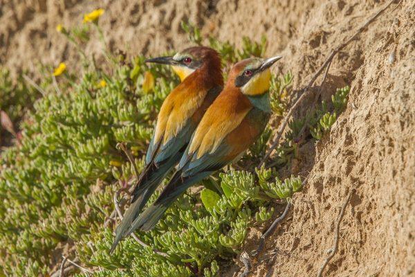 Birdwatching Algarve European Bee-eater