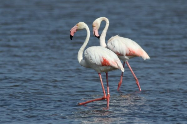 Birdwatching Algarve Ria Formosa Greater Flamingo