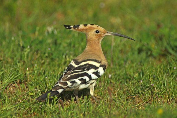 Birdwatching Algarve Ria Formosa Hoopoe