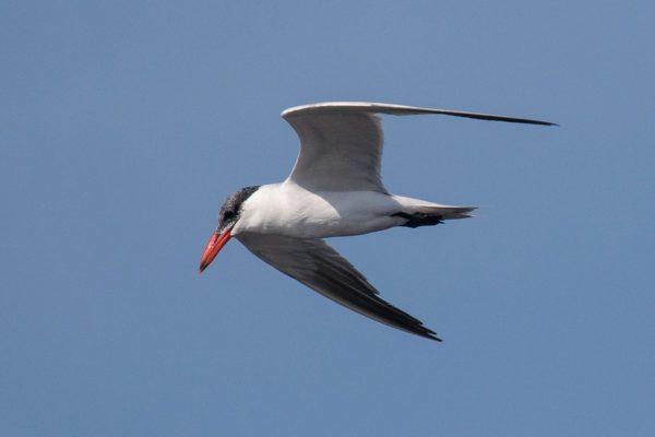 Caspian Tern - Birdwatching Ria Formosa