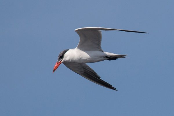 Caspian Tern, symbol of Castro Marim Reserve