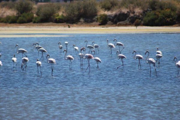 Flamingos, Castro Marim nature Reserve