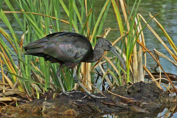 Glossy Ibis - Birdwatching Ria Formosa