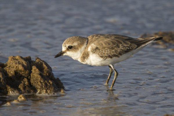 Kentish Plover , photo Peter Dedicoat- Birdwatching Ria Formosa