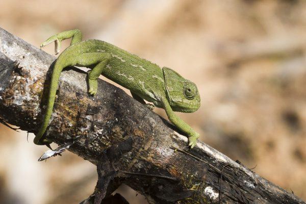 Mediterranean Chameleon - Birdwatching Ria Formosa