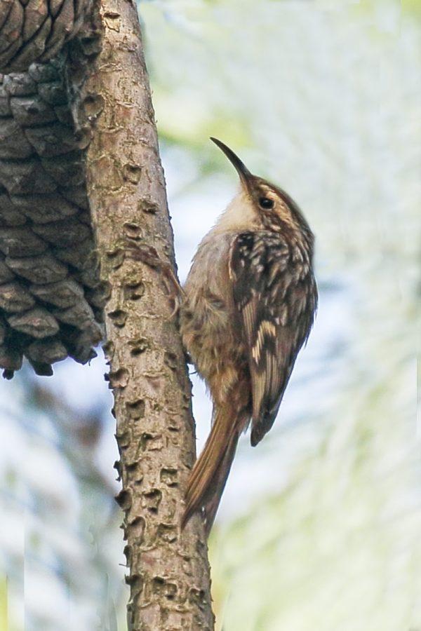 Short-toed Treecreeper - Birdwatching Ria Formosa