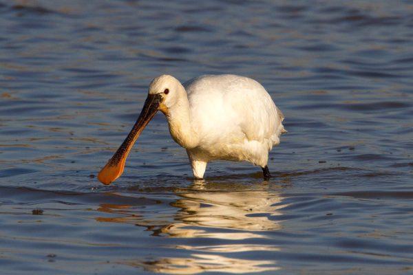 Spoonbill , photo Peter Dedicoat- Birdwatching Ria Formosa