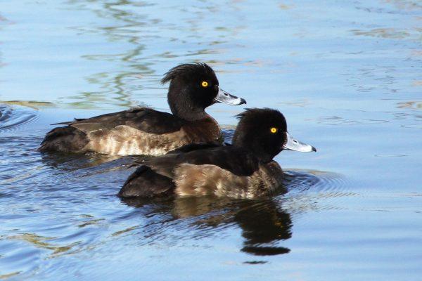 Tufted Ducks , photo Peter Dedicoat - Birdwatching Ria Formosa